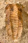 #8131 Hamatolenus sp.