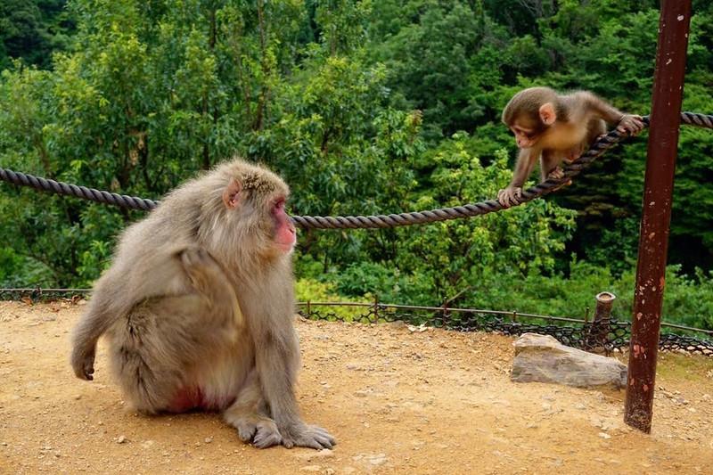 Monkey Park Iwatayama in Kyoto, Japan