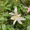 Mt Hood Lily