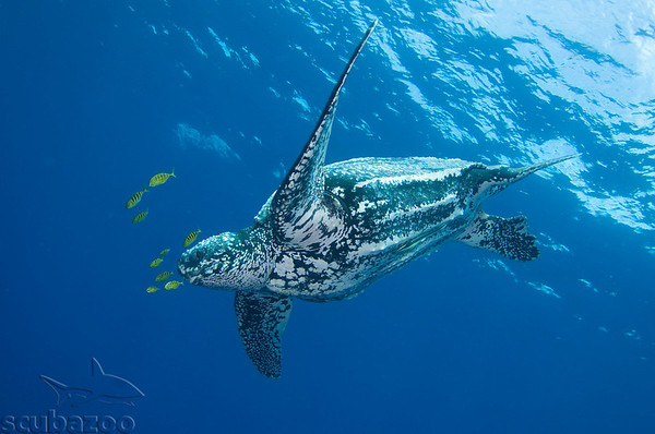 Sea turtle underwater photo by Scubazoo