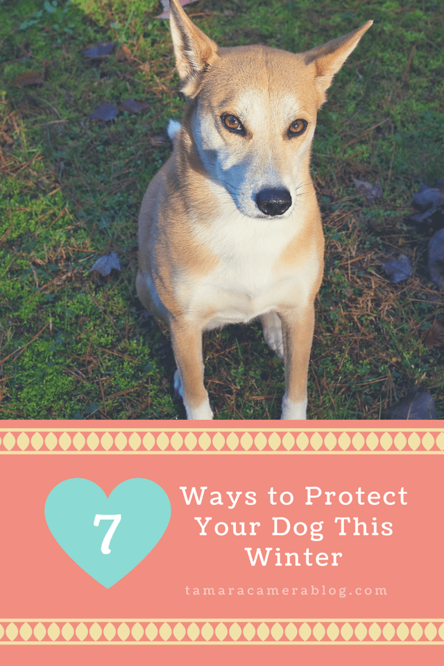 Have a dog who enjoys the outdoors? Even in New England, our dog gets out a lot in winter. Here are 7 ways to protect your pal. #ad #Vectra3D #DoubleDefense