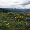 Wildflowers and Mt Hood