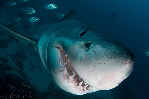 Underwater shark photos by Scubazoo