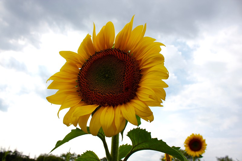 single sunflower at Colby Farm sunflower field