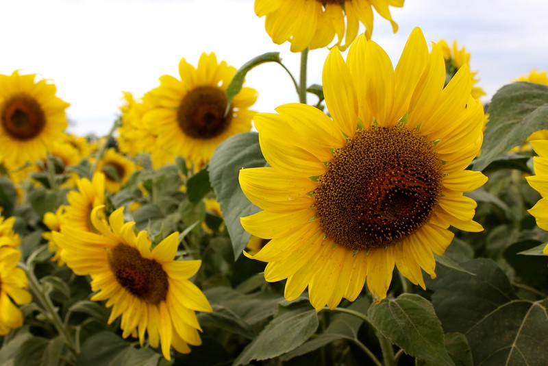 group of sunflowers at Colby Farm sunflower field