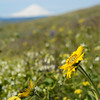 Balsamroot - and Mt hood in the distance