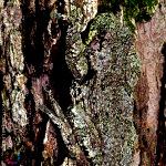 Hyla versicolor, la rainette versicolore