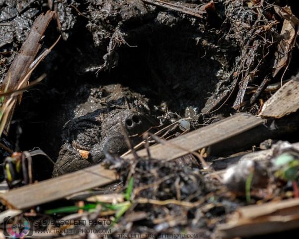 Tortue serpentine camoufler dans la boue