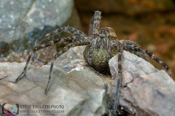 Femelle araignée dolomedes tenebrosus et sont sac d