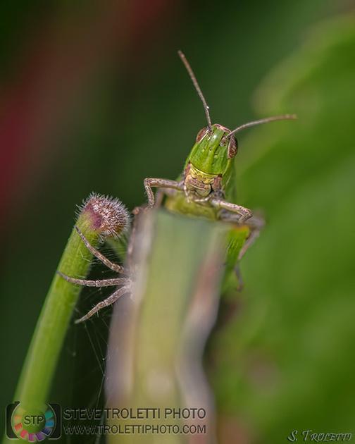 Araignée à l'affut d'une sauterelle - Sorens Suisse
