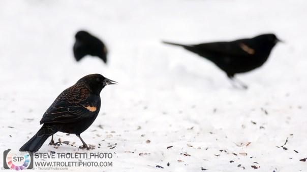 Carouge à épaulettes qui se nourrit sous les mangeoires dans la neige