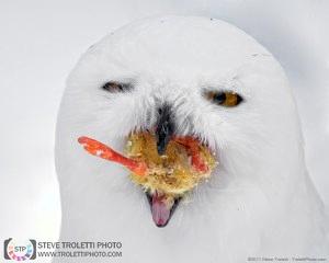 Harfang des neiges rescapé - en captivité