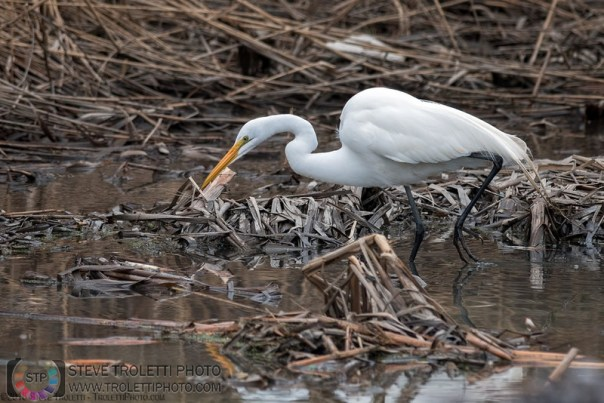 First Great egret (Ardea alba) of 2015