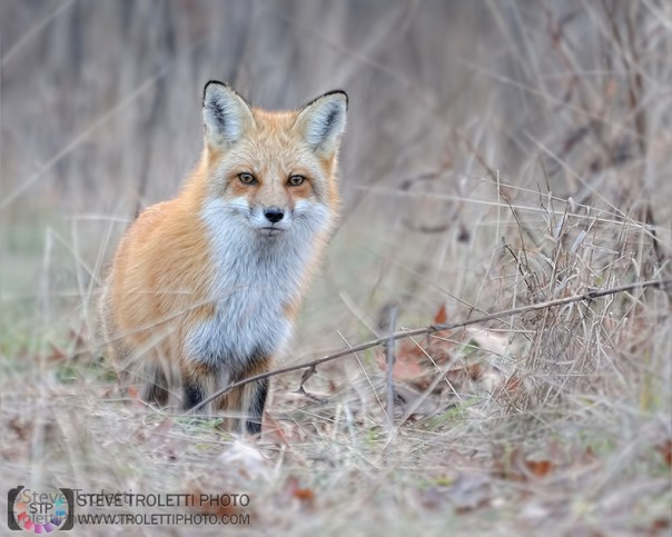 Adult male Red Fox