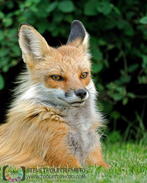 Portrait of a Male Red Fox