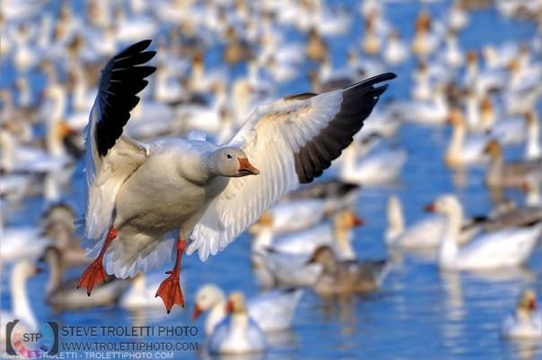 Snow Goose landing - Reservoir Beaudet, Victoriaville