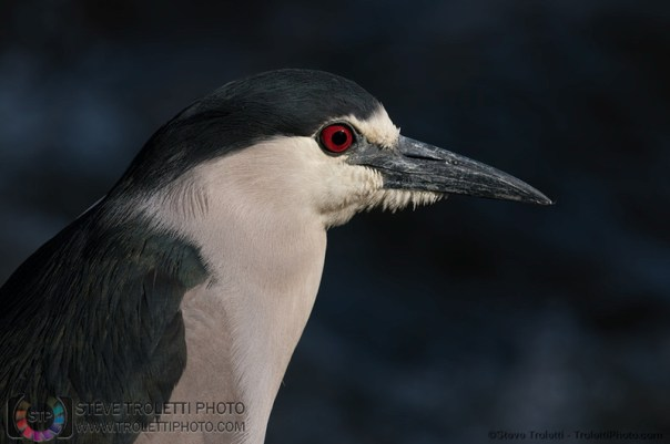 Black-crowned night heron - 2014 first arrival