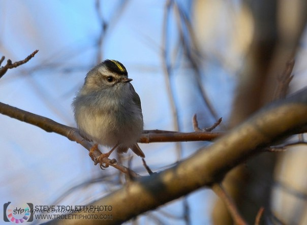 Golden-crowned Kinglet - by Monique Coulombe