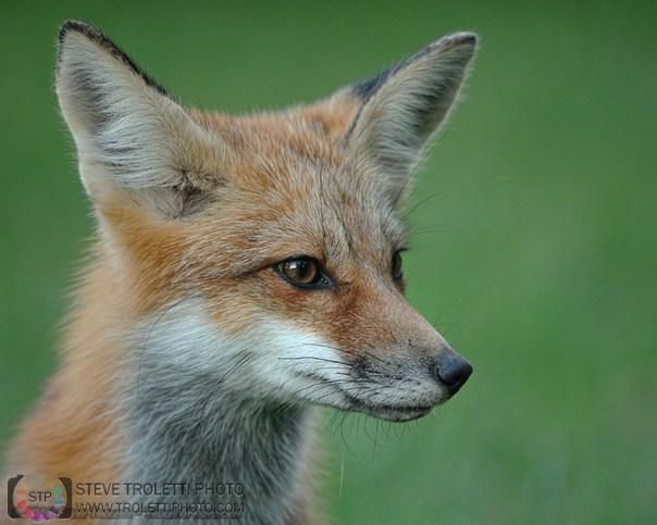 Portrait of a Juvenile Red Fox