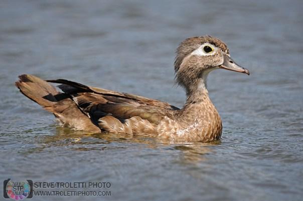 Mature Female Wood Duck