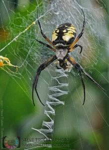 Argiope aurantia Spider Feeding