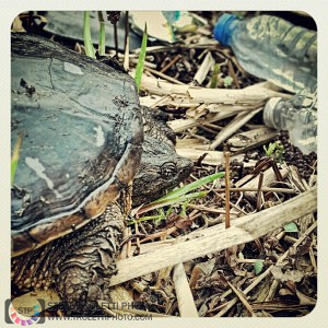 Snapping Turtle in Trash along Montreal River