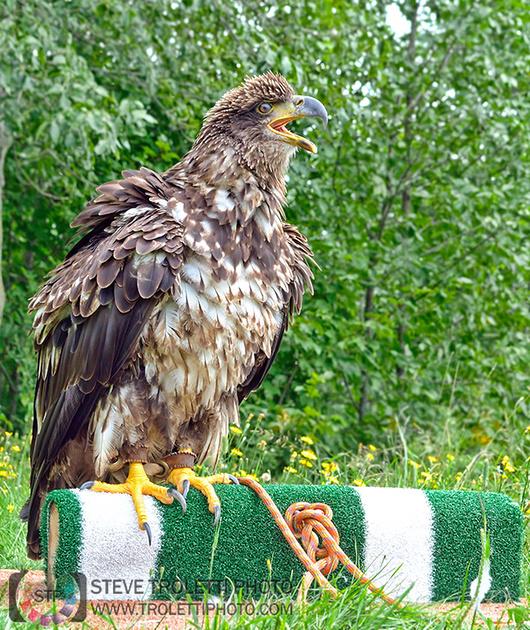 UQROP - ST-Jude, Quebec - Atlas Juvenile Bald Eagle