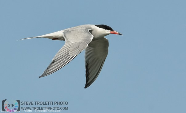 Common Tern In-Flight / Sterne pierregarin en vol