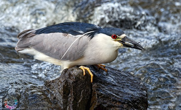 Black-crowned Night Heron Fishing – Bihoreau gris