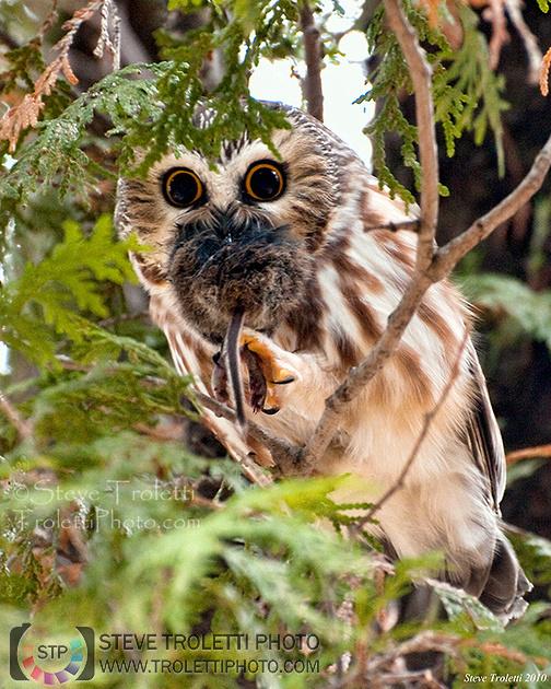 Steve Troletti Photography: OWLS / CHOUETTES ET HIBOUX (Strigidae Tytonidae) &emdash; Northern Saw-whet Owl / Petite Nyctale (Aegolius acadicus) 2
