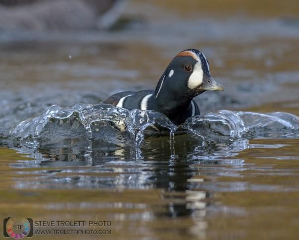 Male Harlequin duck splashing / Arlequin plongeur