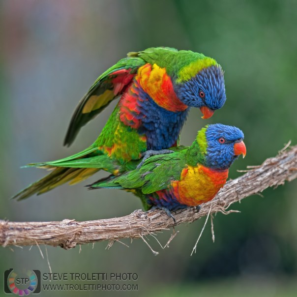 Mating Rainbow Lorikeet / Acouplement de Loriquet à tête bleue