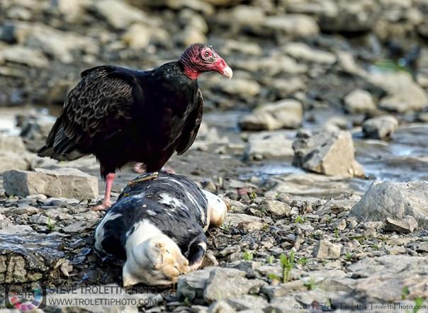 Steve Troletti Photo - Tempus Aura: VULTURES / VAUTOURS (Cathartidae) &emdash; Turkey Vulture / Urubu à tête rouge