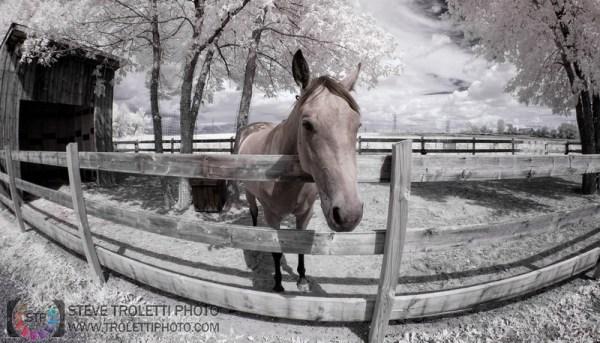 Tempus Aura Studio - Eugenie Robitaille - Steve Troletti Photography: MAMMALS / MAMMIFÈRES &emdash; Infrared Horse - Cheval Infrarouge