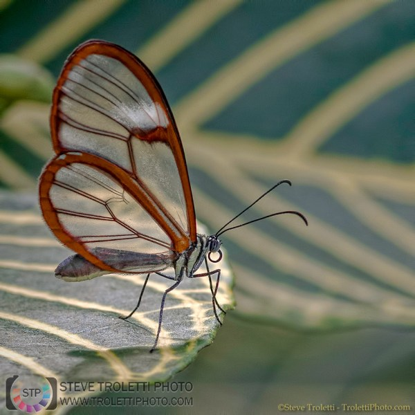 Steve Troletti Editorial, Nature and Wildlife Photographer: Insects / Insectes / Insecta &emdash; Glasswing - Greta Oto (Papillon / Butterfly)