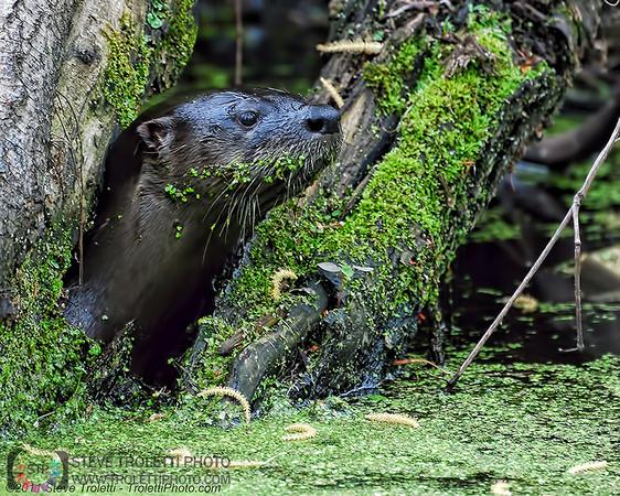 Steve Troletti Photography: MAMMALS / MAMMIFÈRES &emdash; North American River Otter / Loutre de rivière