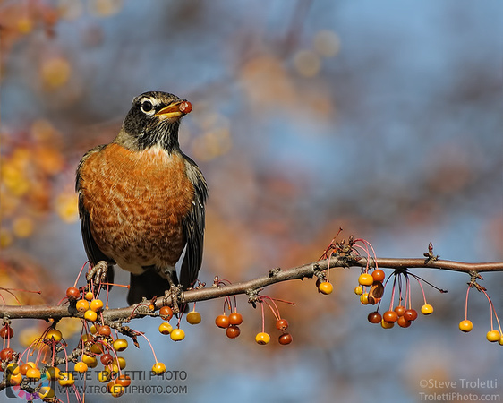 Steve Troletti Photography: PICTURE OF THE DAY / PHOTO DU JOUR &emdash; American Robin / Merle d'Amerique