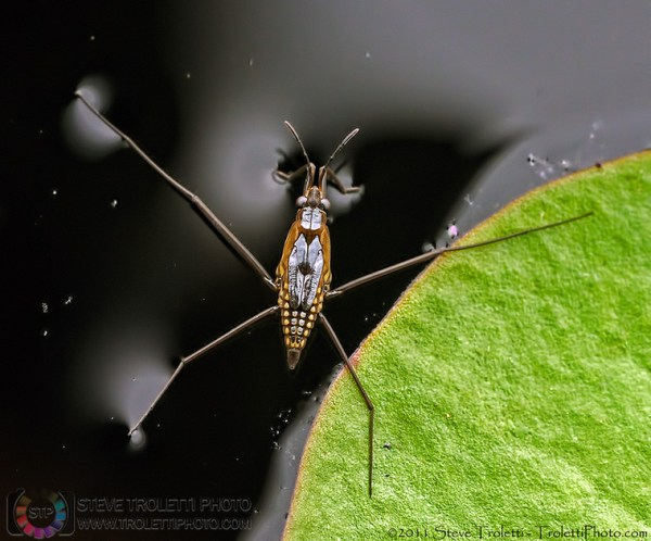 Steve Troletti Photography: Insects / Insectes / Insecta &emdash; Gerridae / gerrid�s