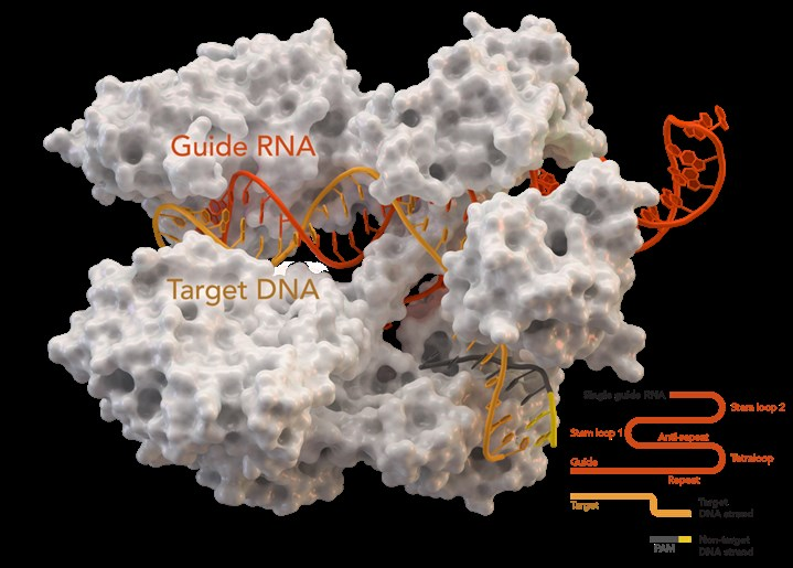 Guide RNA (gRNA): CRISPR-associated protein Cas9 (white) is bound to gRNA (orange) and target DNA (yellow).