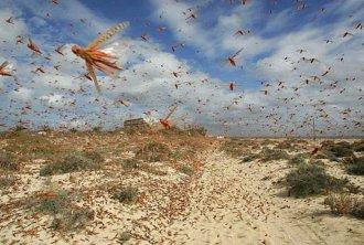 Afbeeldingsresultaat voor sprinkhanenplaag