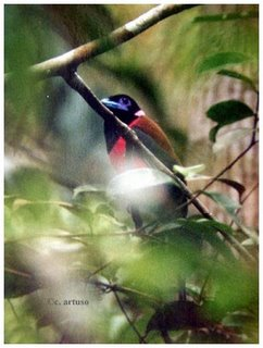 Iban Omen Bird - Kelabu Papau - Diard's Trogon