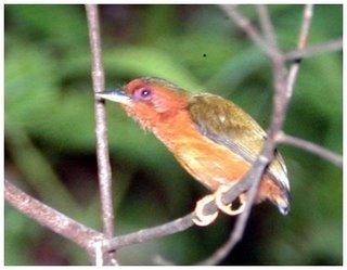 Iban Omen Bird - Ketupong - Rufous Piculet