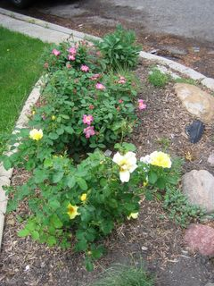 Shrub roses Nearly Wild (pink) and Carefree Sunshine (yellow)