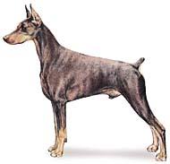doberman Os dez cachorros mais inteligentes e os mais burros