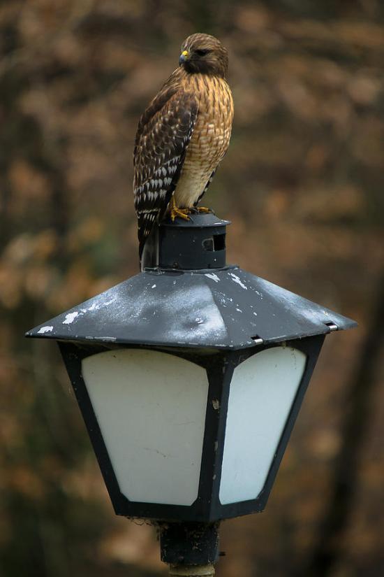 neighborhood-watch-hawk-robert-l-jackson