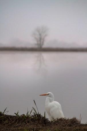 Consummes-River-Egret