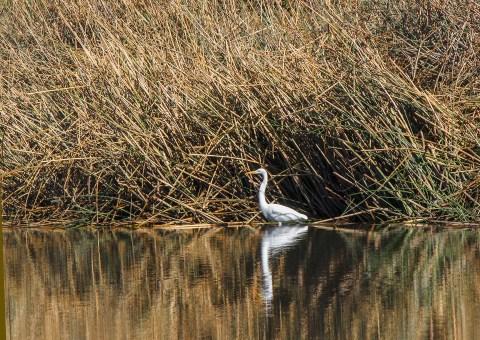 Gualala-Egret