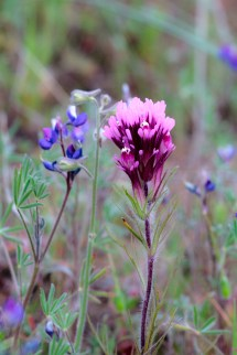 Owl-Clover-and-Lupine