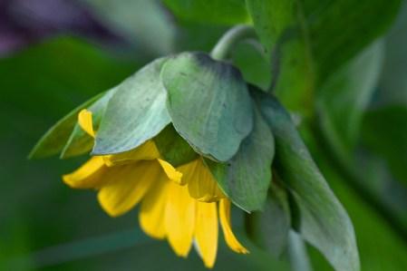 Single-Mules-Ear-Flower