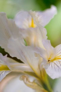 Dreamy-Iris-3